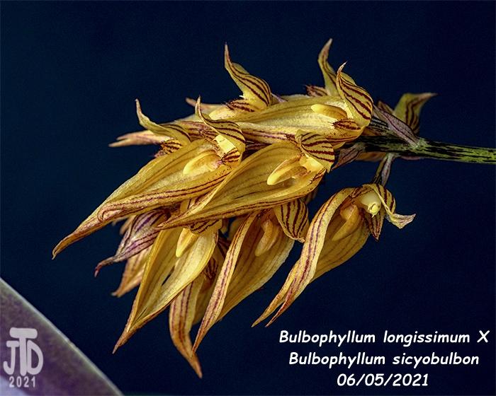 Name:  Bulbophyllum longissimum X Bulb. sicyobulbon4 06052021.jpg Views: 40 Size:  180.8 KB