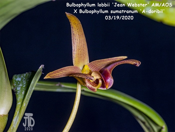 Name:  Bulbophyllum lobbii 'Jean Webster' AMAOS X Bulb sumatranum 'A-doribil'5 03182020.jpg Views: 54 Size:  135.3 KB