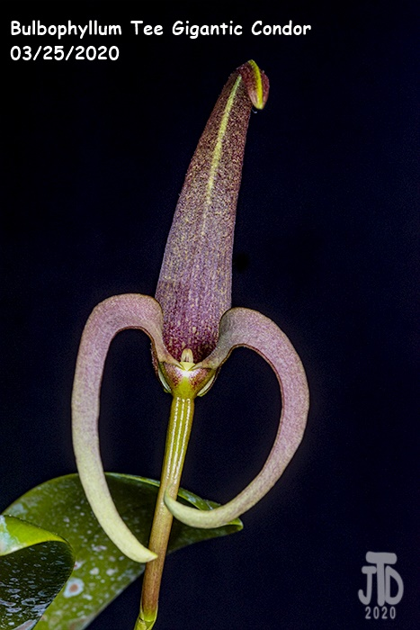 Name:  Bulbophyllum Tee Gigantic Condor2 03252020.jpg