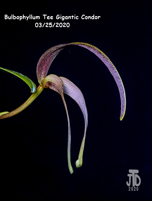 Name:  Bulbophyllum Tee Gigantic Condor3 03252020.jpg