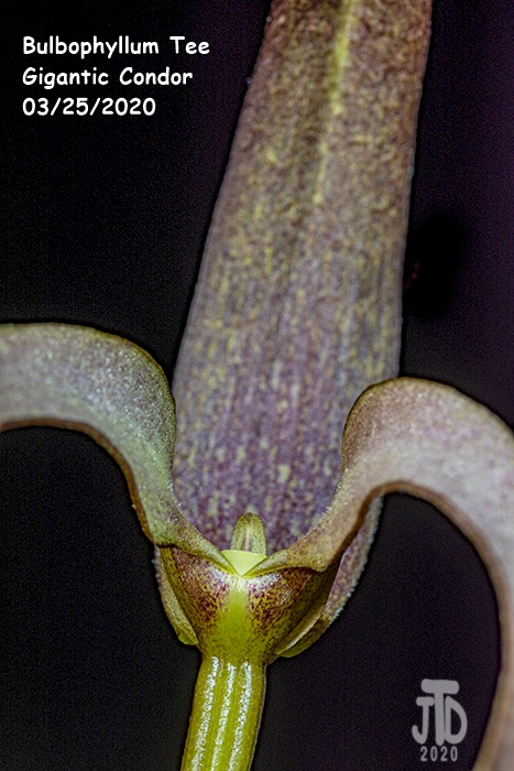Name:  Bulbophyllum Tee Gigantic Condor4 03252020.jpg