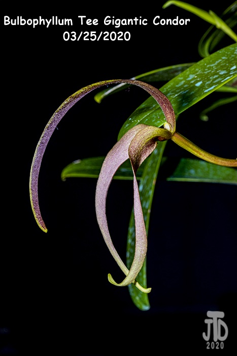 Name:  Bulbophyllum Tee Gigantic Condor5 03252020.jpg