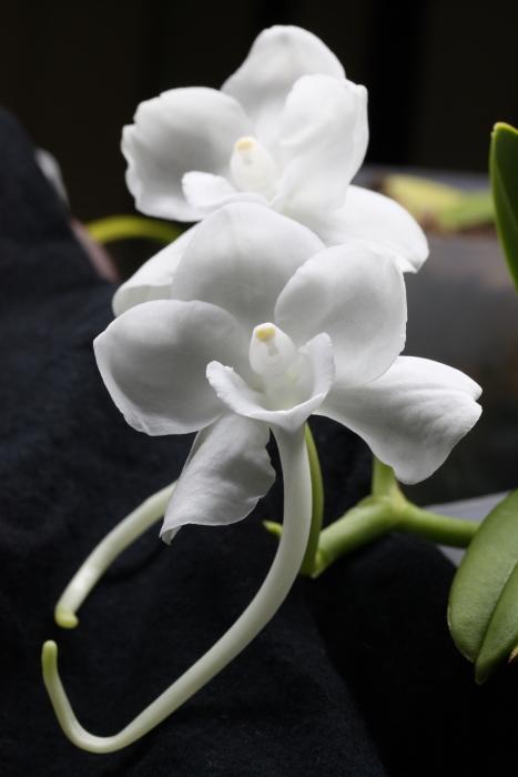 Name:  Amesiella monticola1.jpg Views: 52 Size:  221.5 KB