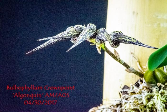 Name:  Bulbophyllum Crownpoint 'Algonquin' AM-AOS 300 mma.jpg Views: 176 Size:  320.2 KB