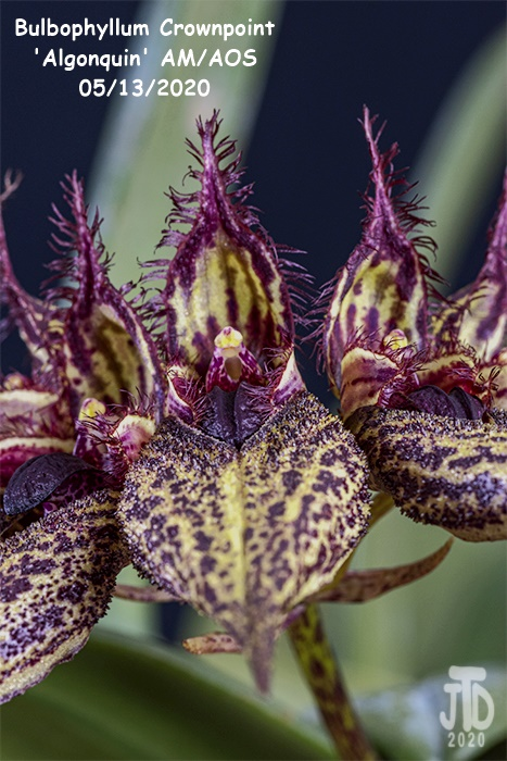 Name:  Bulbophyllum Crownpoint 'Algonquin' AM-AOS2 05132020.jpg Views: 56 Size:  162.8 KB