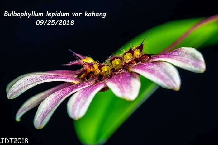Name:  Bulbophyllum lepidum var kahang1 09-25-2018.jpg