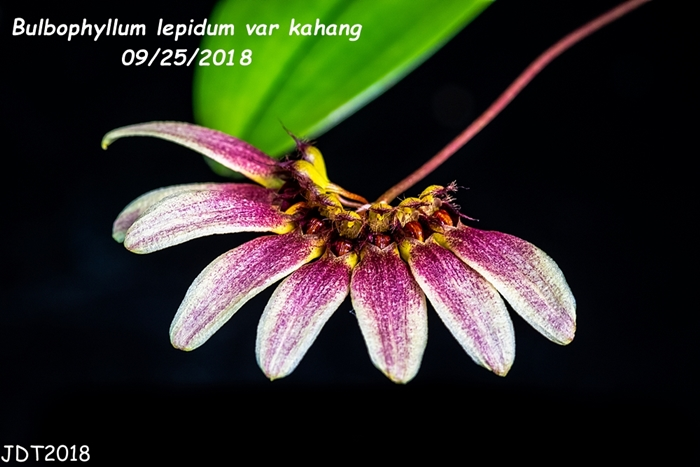 Name:  Bulbophyllum lepidum var kahang2 09-25-2018.jpg