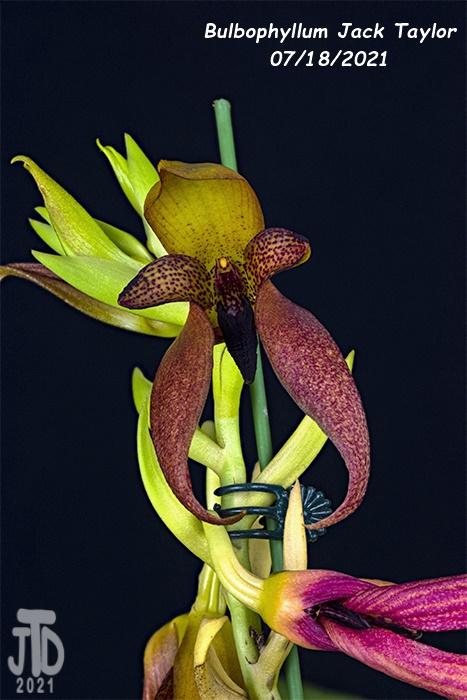 Name:  Bulbophyllum Jack Taylor3 07182021.jpg Views: 54 Size:  133.0 KB