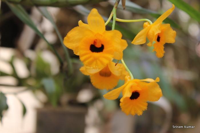 Name:  Den.fimbriatum var occulatum1.JPG Views: 344 Size:  142.4 KB