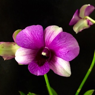 Name:  Den hiang beauty - 1.jpg Views: 409 Size:  28.7 KB