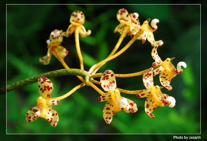 Name:  1CXC_1054Bulbophyllum violaceolabellum.jpg Views: 322 Size:  63.9 KB