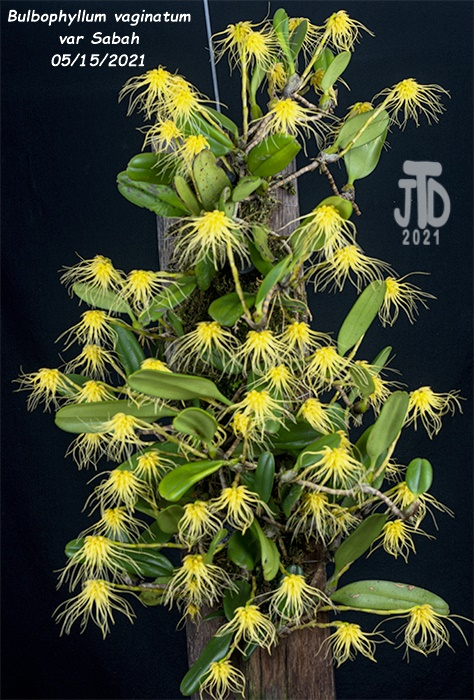 Name:  Bulbophyllum vaginatum var Sabah1 05152021.jpg Views: 57 Size:  201.7 KB