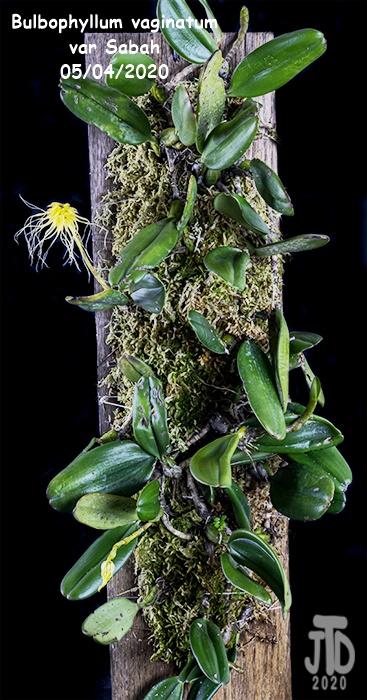 Name:  Bulbophyllum vaginatum var Sabah1 05042020.jpg Views: 37 Size:  143.4 KB