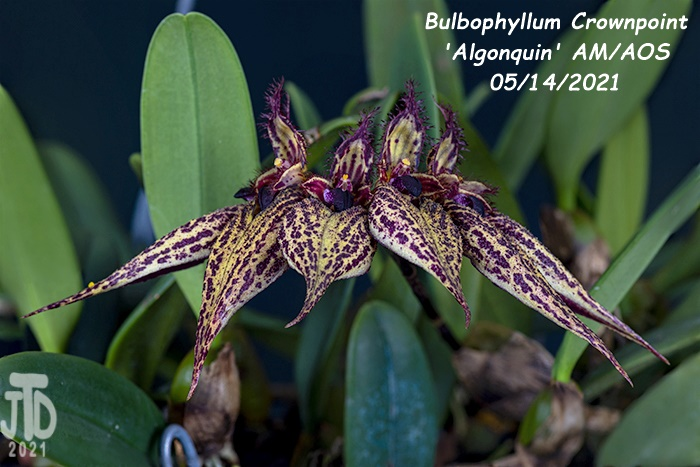 Name:  Bulbophyllum Crownpoint 'Algonquin' AM-AOS3 05152021.jpg Views: 46 Size:  135.7 KB