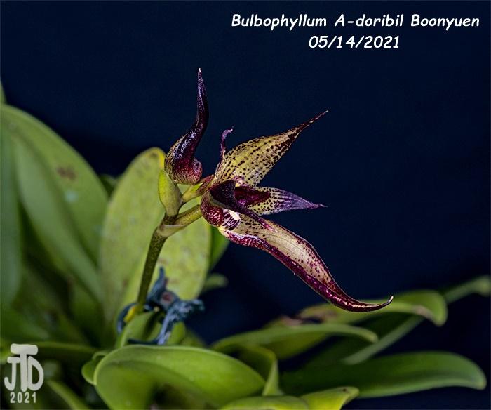 Name:  Bulbophyllum A-doribil Boonyuen4 05142021.jpg Views: 44 Size:  155.8 KB