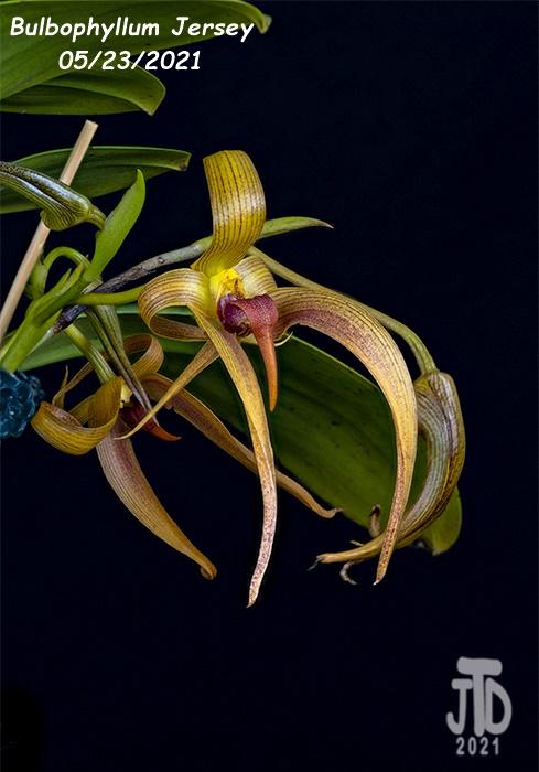 Name:  Bulbophyllum Jersey2 05232021.jpg Views: 39 Size:  113.2 KB