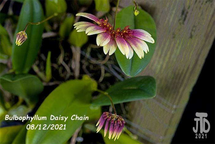 Name:  Bulbophyllum Daisy Chain3 08122021.jpg Views: 24 Size:  109.9 KB
