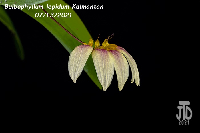 Name:  Bulbophyllum lepidum Kalimantan2 08122021.jpg Views: 25 Size:  59.3 KB