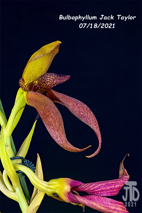 Name:  Bulbophyllum Jack Taylor4 07182021.jpg Views: 28 Size:  125.2 KB