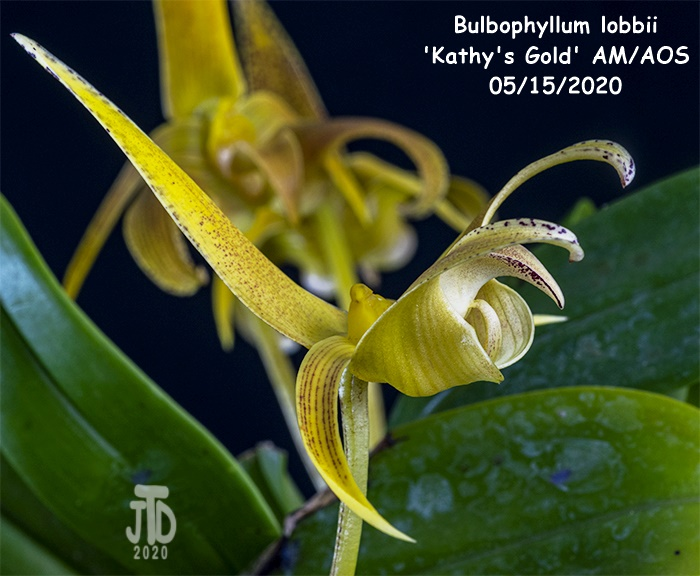 Name:  Bulbophyllum lobbii 'Kathy's Gold' AM-AOS2 05152020.jpg