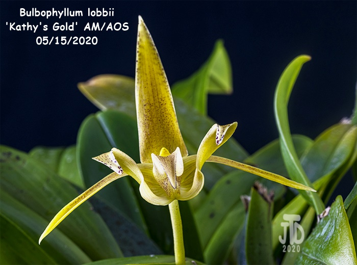 Name:  Bulbophyllum lobbii 'Kathy's Gold' AM-AOS4 05152020.jpg