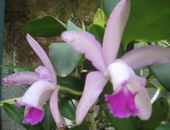 Name:  cattleya-amethystoglossa-x-guarianthe-aurantiaca.jpg Views: 687 Size:  14.0 KB