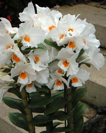 Name:  Dendrobium-formidible.jpeg Views: 10929 Size:  25.4 KB