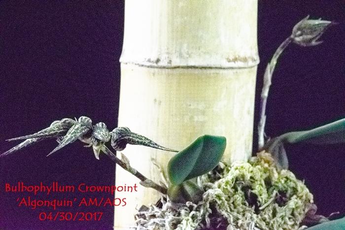 Name:  Bulbophyllum Crownpoint 'Algonquin' AM-AOS 300 mm.jpg Views: 118 Size:  307.7 KB