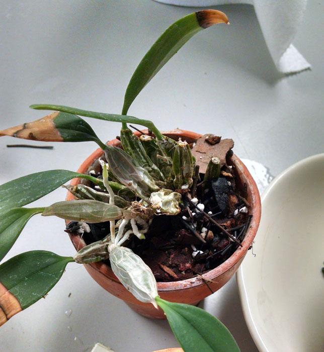 Name:  den lindleyy - leaf discoloration.jpg Views: 95 Size:  125.1 KB