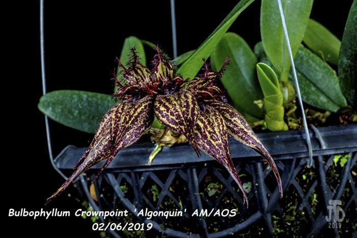 Name:  Bulbophyllum Crownpoint 'Algonquin' AM-AOS2 02052019.jpg Views: 141 Size:  250.0 KB