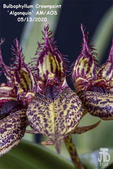 Name:  Bulbophyllum Crownpoint 'Algonquin' AM-AOS2 05132020.jpg Views: 57 Size:  162.8 KB