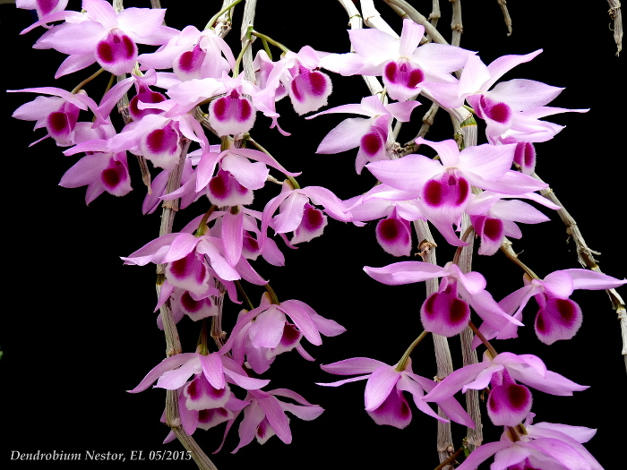 Name:  Dendrobium Nestor 05_2015 20.JPG Views: 2057 Size:  244.1 KB