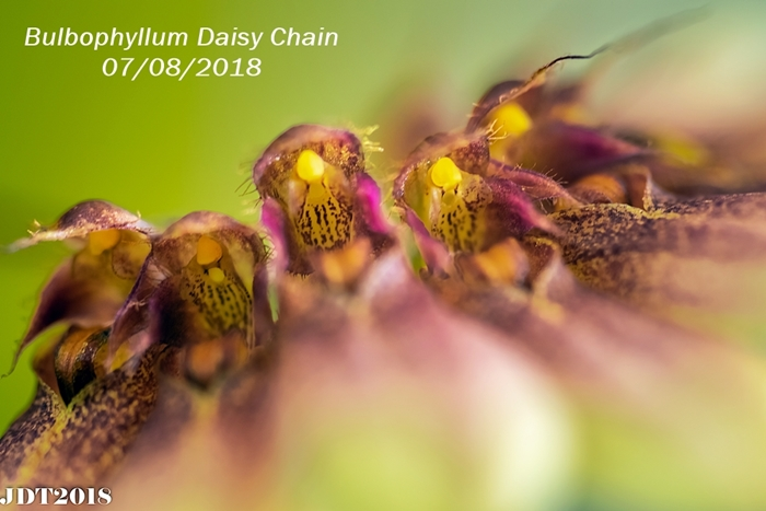 Name:  Bulbophyllum Daisy Chain1 100mm 070818.jpg Views: 197 Size:  210.2 KB