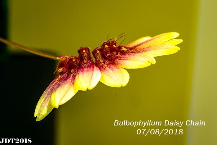 Name:  Bulbophyllum Daisy Chain2 100mm 070818.jpg Views: 158 Size:  193.4 KB