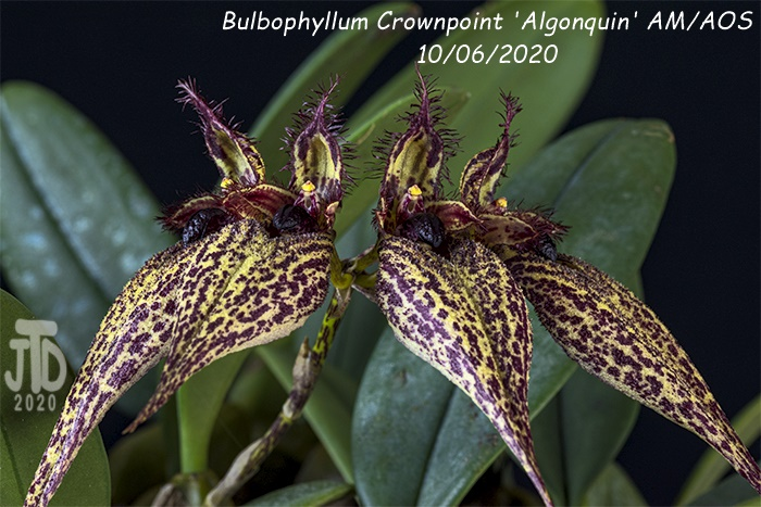 Name:  Bulbophyllum Crownpoint 'Algonquin' AM-AOS1 10062020.jpg