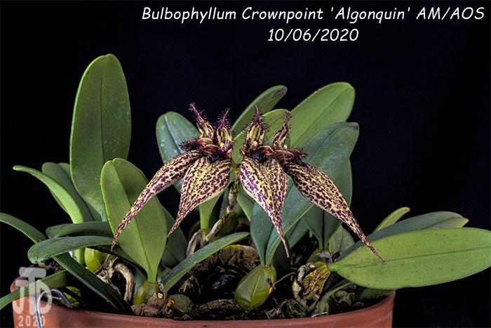 Name:  Bulbophyllum Crownpoint 'Algonquin' AM-AOS3 10062020.jpg