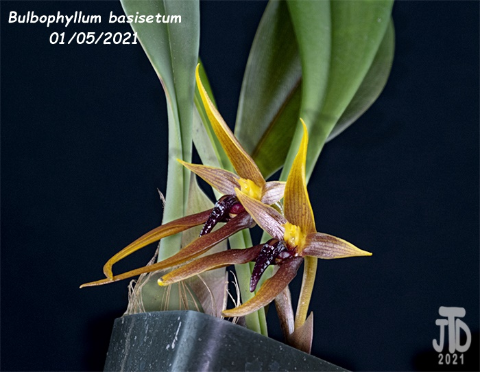 Name:  Bulbophyllum basisetum2 01052021.jpg Views: 58 Size:  129.4 KB