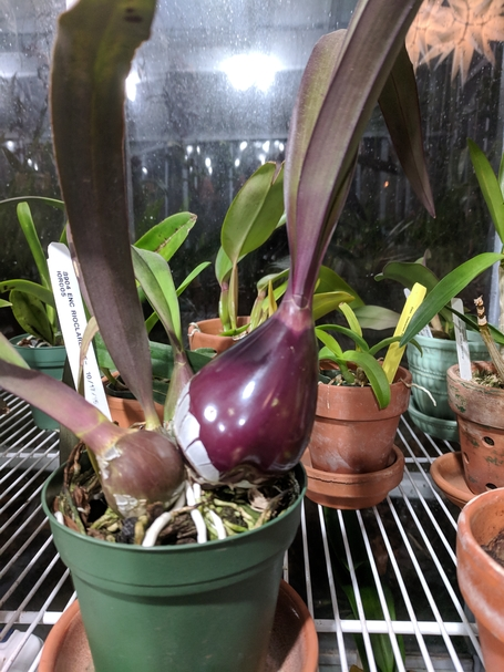 Name:  small purple pseudobulb.jpg