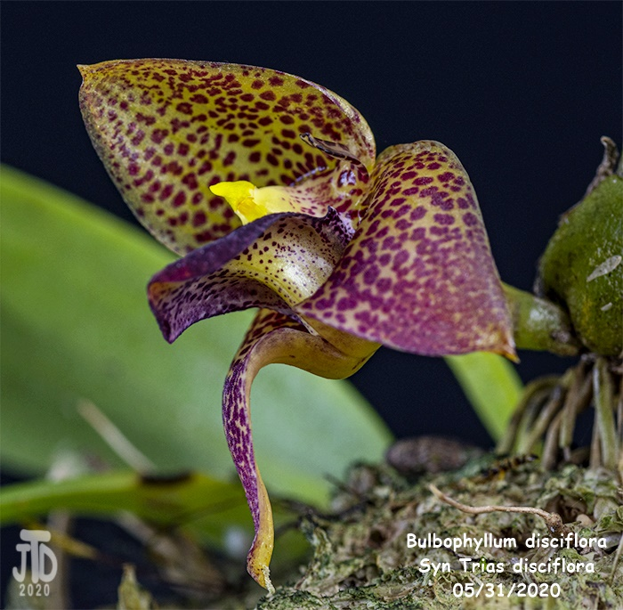 Name:  Bulbophyllum Trias disciflora2 05312020.jpg Views: 58 Size:  197.7 KB