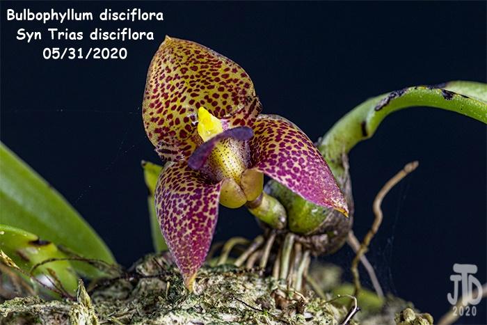 Name:  Bulbophyllum Trias disciflora4 05312020.jpg Views: 64 Size:  150.8 KB