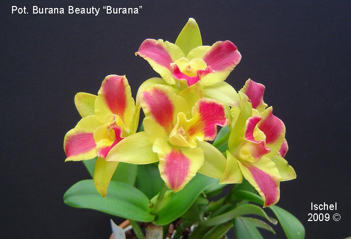 Name:  Pot. Burana Beauty 'Burana' 09_edited-1.jpg Views: 7831 Size:  329.6 KB