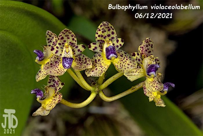 Name:  Bulbophyllum violaceolabellum1 06112021.jpg Views: 113 Size:  137.7 KB