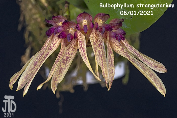 Name:  Bulbophyllum strangutarium5 08012021.jpg Views: 47 Size:  146.7 KB