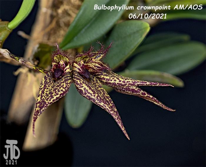 Name:  Bulbophyllum crownpoint AMAOS2 06102021.jpg Views: 38 Size:  164.9 KB