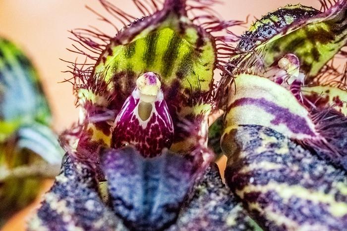 Name:  Bulbophyllum crownpoint AM-AOS2 60mm 050618.jpg Views: 144 Size:  335.2 KB