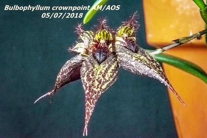 Name:  Bulbophyllum crownpoint AM-AOS1 100mm 050618.jpg Views: 107 Size:  334.0 KB