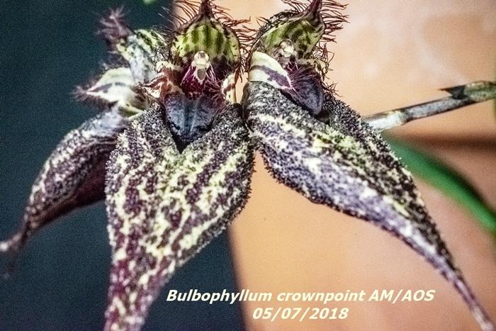 Name:  Bulbophyllum crownpoint AM-AOS3 60mm 050618.jpg Views: 101 Size:  330.7 KB