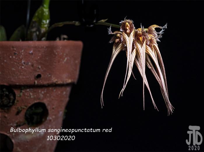 Name:  Bulbophyllum sangineopunctatum red4 10302020.jpg Views: 46 Size:  128.3 KB