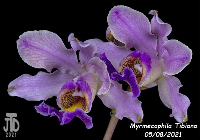 Name:  Myrmechophila Tibiana5 05072021.jpg Views: 57 Size:  121.7 KB