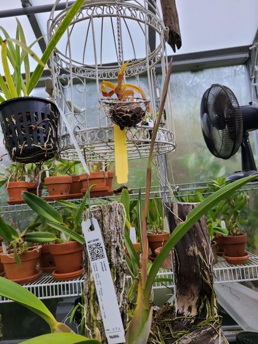 Name:  laelia2sm.jpg